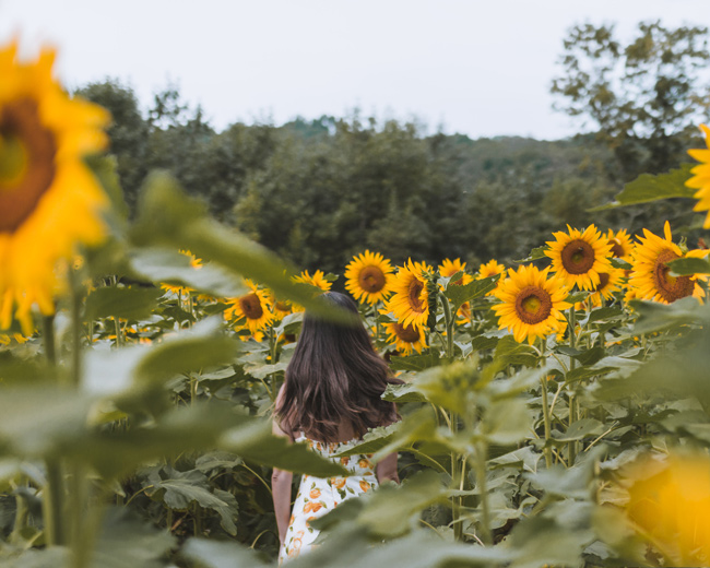 The Best Sunflower Fields Near New York City
